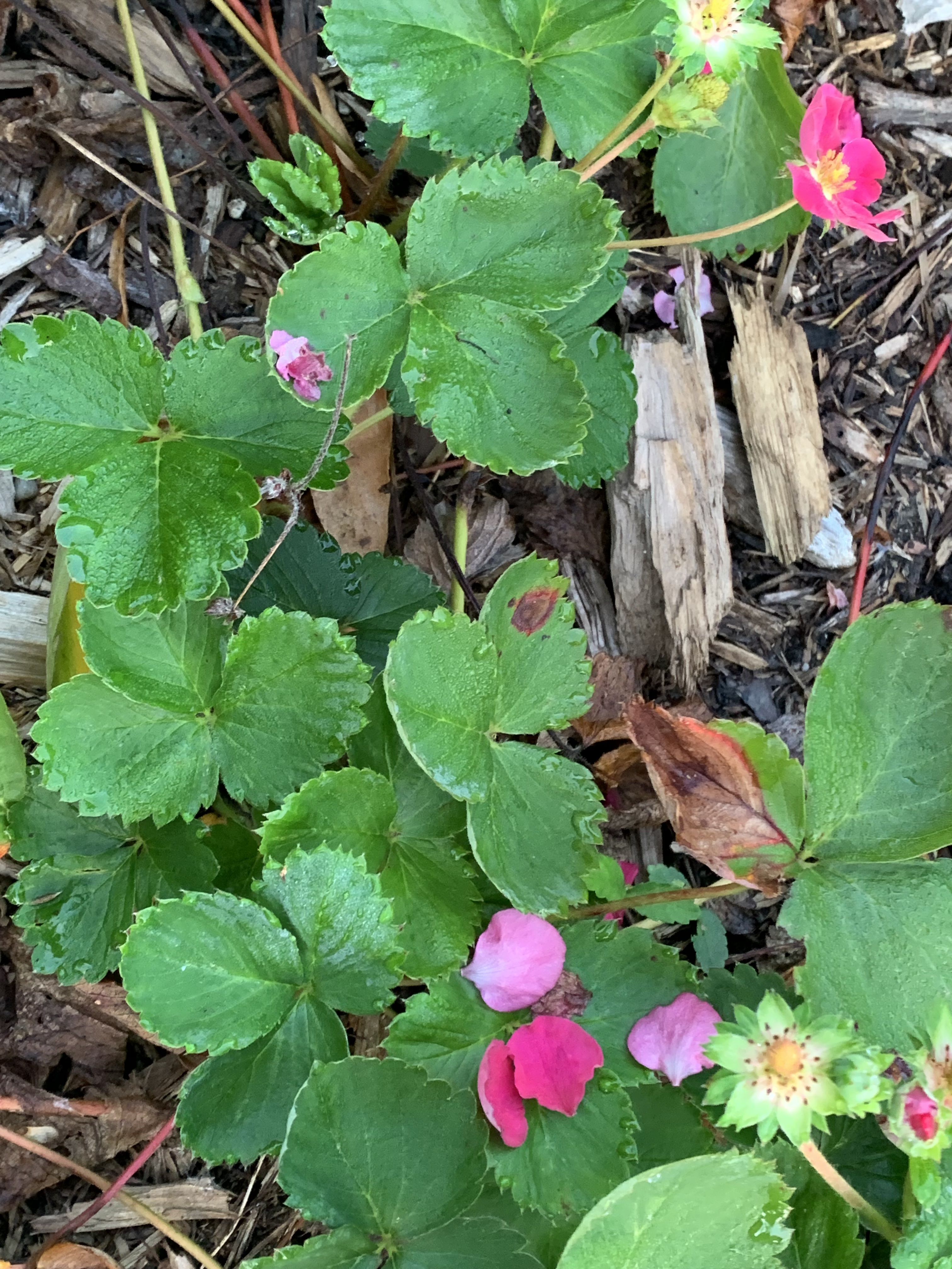 Sept-Strawberry